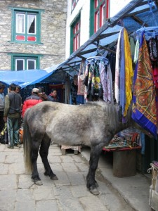 Horse browsing in Namche